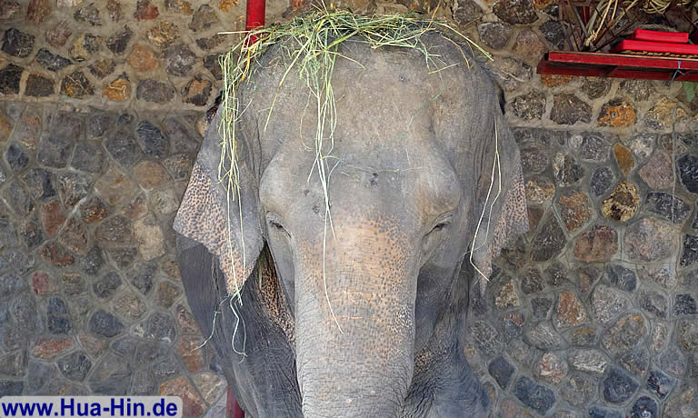 Elefant mit Strohut in der Elephant Foundation